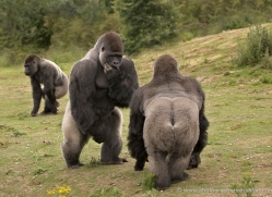 lowland-gorilla-port-lympne-2263-copyright-photographers-on-safari-com