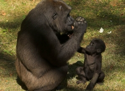 lowland-gorilla-port-lympne-2266-copyright-photographers-on-safari-com