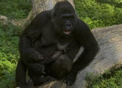lowland-gorilla-port-lympne-2269-copyright-photographers-on-safari-com