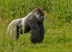 lowland-gorilla-port-lympne-2271-copyright-photographers-on-safari-com