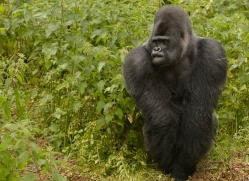 lowland-gorilla-port-lympne-2275-copyright-photographers-on-safari-com