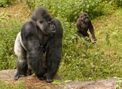 lowland-gorilla-port-lympne-2276-copyright-photographers-on-safari-com