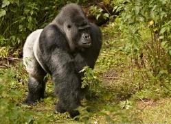 lowland-gorilla-port-lympne-2277-copyright-photographers-on-safari-com