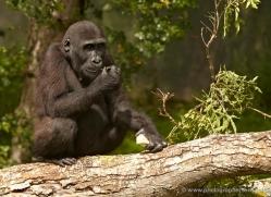 lowland-gorilla-port-lympne-2278-copyright-photographers-on-safari-com