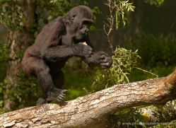 lowland-gorilla-port-lympne-2279-copyright-photographers-on-safari-com