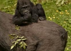 lowland-gorilla-port-lympne-2282-copyright-photographers-on-safari-com