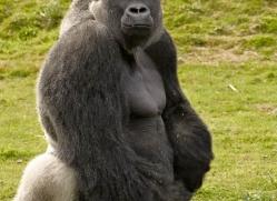 lowland-gorilla-port-lympne-2285-copyright-photographers-on-safari-com
