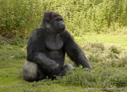 lowland-gorilla-port-lympne-2290-copyright-photographers-on-safari-com