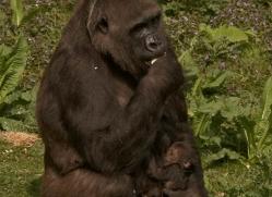 lowland-gorilla-port-lympne-2291-copyright-photographers-on-safari-com