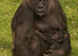 lowland-gorilla-port-lympne-2293-copyright-photographers-on-safari-com