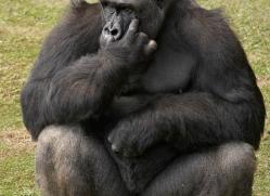 lowland-gorilla-port-lympne-2294-copyright-photographers-on-safari-com