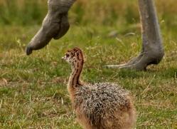 ostrich-port-lympne-2243-copyright-photographers-on-safari-com