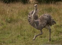 ostrich-port-lympne-2246-copyright-photographers-on-safari-com
