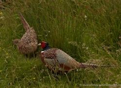 pheasant-port-lympne-2259-copyright-photographers-on-safari-com