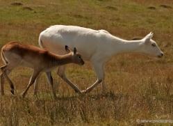 red-lechwe-port-lympne-2229-copyright-photographers-on-safari-com
