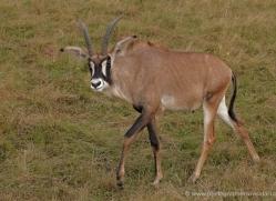 roan-antelope-port-lympne-2250-copyright-photographers-on-safari-com