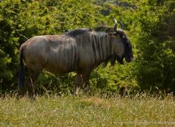 wildebeest-port-lympne-2206-copyright-photographers-on-safari-com
