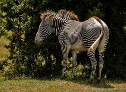 zebra-port-lympne-2214-copyright-photographers-on-safari-com