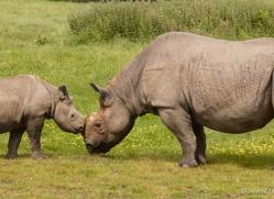 black-rhino-port-lympne-2237-copyright-photographers-on-safari-com