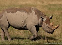 black-rhino-port-lympne-2239-copyright-photographers-on-safari-com