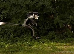 colobus-monkey-port-lympne-2220-copyright-photographers-on-safari-com