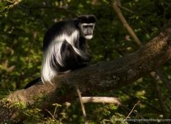 colobus-monkey-port-lympne-2221-copyright-photographers-on-safari-com