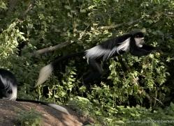 colobus-monkey-port-lympne-2222-copyright-photographers-on-safari-com
