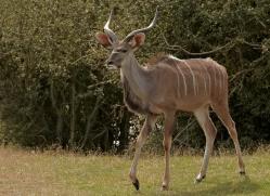 kudu-port-lympne-2257-copyright-photographers-on-safari-com