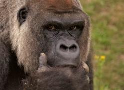 lowland-gorilla-port-lympne-2260-copyright-photographers-on-safari-com