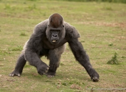 lowland-gorilla-port-lympne-2261-copyright-photographers-on-safari-com