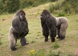lowland-gorilla-port-lympne-2262-copyright-photographers-on-safari-com