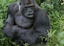 lowland-gorilla-port-lympne-2264-copyright-photographers-on-safari-com