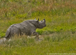 Black Rhino 2014 -1copyright-photographers-on-safari-com