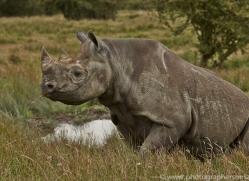 Black Rhino 2014 -3copyright-photographers-on-safari-com
