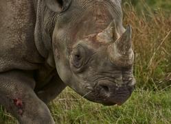 Black Rhino 2014 -4copyright-photographers-on-safari-com