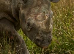 Black Rhino 2014 -5copyright-photographers-on-safari-com