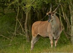 Eland 2014 -1copyright-photographers-on-safari-com