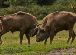 European Bison 2014 -1copyright-photographers-on-safari-com