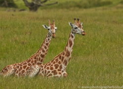 Giraffe 2014 -1copyright-photographers-on-safari-com