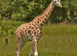 Giraffe 2014 -2copyright-photographers-on-safari-com