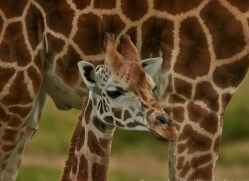 Giraffe 2014 -4copyright-photographers-on-safari-com