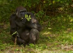 Gorilla 2014 -13copyright-photographers-on-safari-com