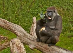 Gorilla 2014 -14copyright-photographers-on-safari-com