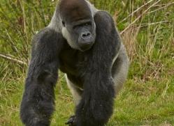 Gorilla 2014 -19copyright-photographers-on-safari-com
