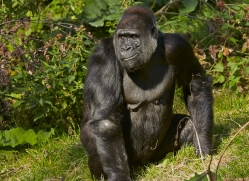 Gorilla 2014 -25copyright-photographers-on-safari-com