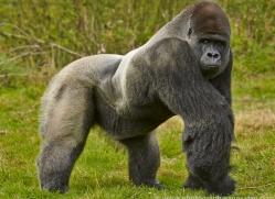 Gorilla 2014 -26copyright-photographers-on-safari-com