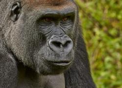 Gorilla 2014 -29copyright-photographers-on-safari-com