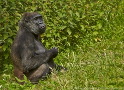 Gorilla 2014 -2copyright-photographers-on-safari-com