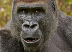 Gorilla 2014 -30copyright-photographers-on-safari-com