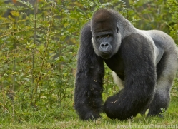 Gorilla 2014 -33copyright-photographers-on-safari-com